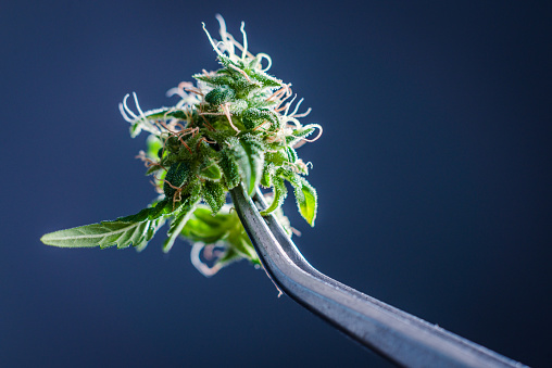 Sativa vs Indica: An Easy to Understand Guide
